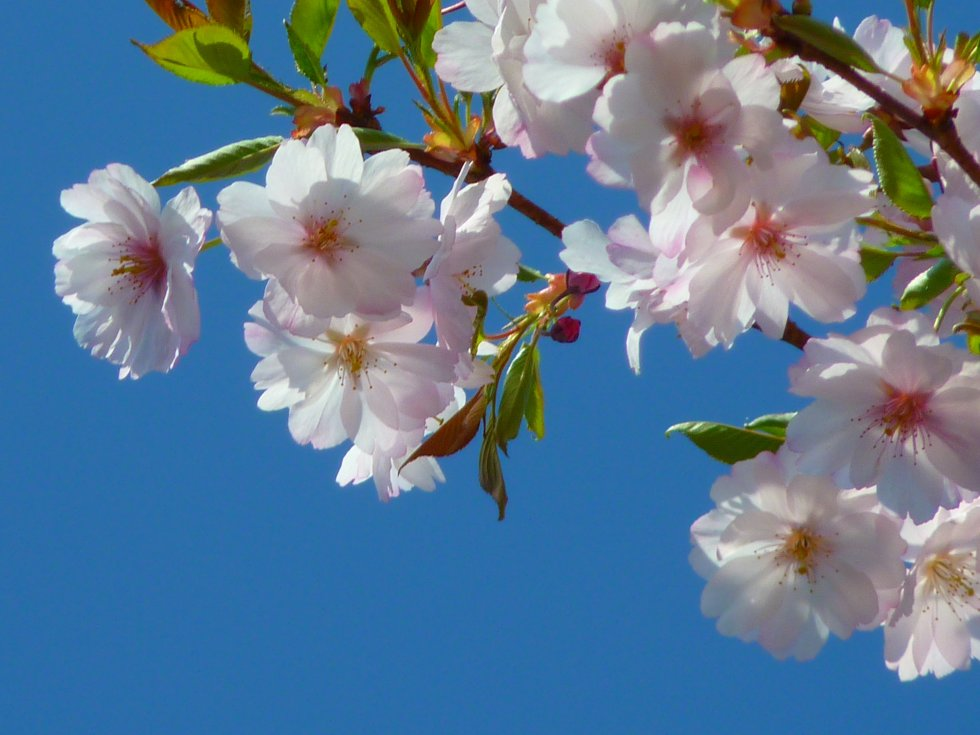 japanese_cherry_trees_flower_cherry_blossom